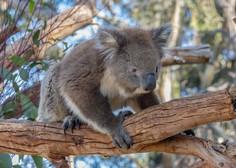 Koale v Avstraliji hudo ogrožene, v nekaterih delih države jim v 30 letih grozi izumrtje