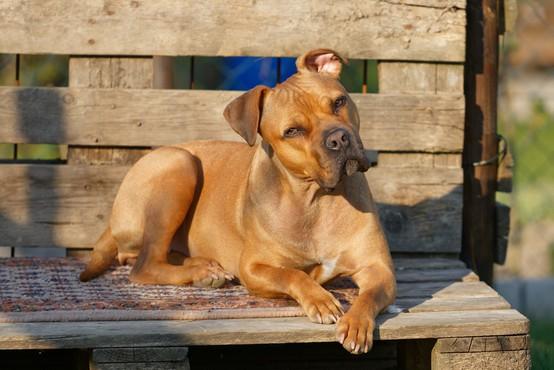 Psi prek svoje mimike zares komunicirajo s skrbniki, kažejo študije!