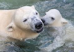 Zaradi podnebnih sprememb bodo severni medvedi izumrli do leta 2100