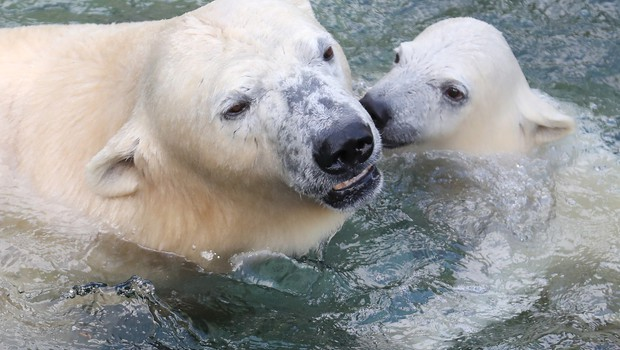 Zaradi podnebnih sprememb bodo severni medvedi izumrli do leta 2100 (foto: Profimedia)