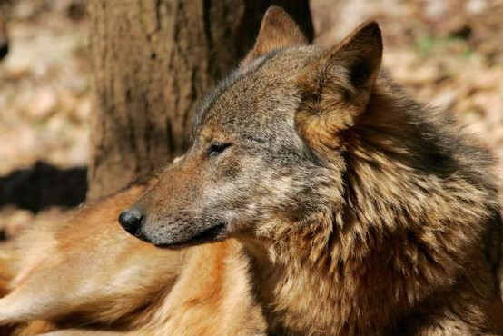 V Nemčiji prvič prisoten volk iz Slovenije in Hrvaške