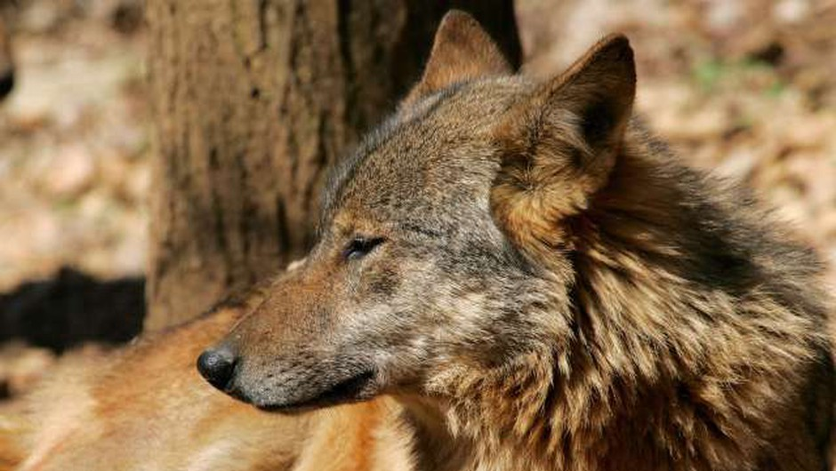 V Nemčiji prvič prisoten volk iz Slovenije in Hrvaške (foto: Daniel Novakovič/STA)