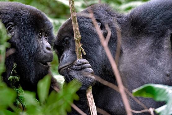 V Ugandi zaporna kazen krivolovcu, ki je umoril gorilo Rafiki