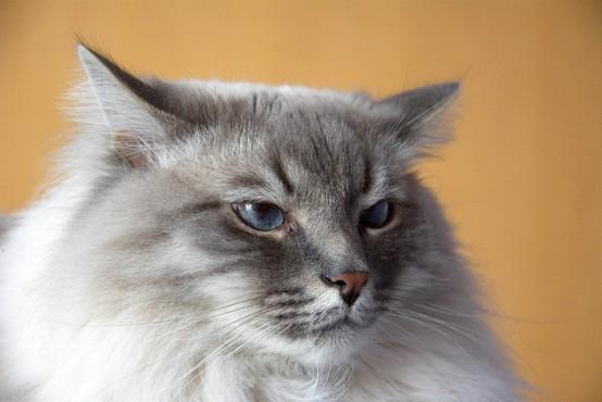 Šrilanška mačka tihotapila heroin in zbežala iz zapora