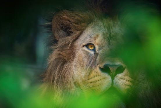 Ljubljanski živalski vrt se je pridružil praznovanju svetovnega dneva levov