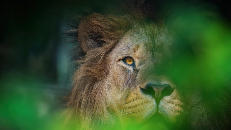 Ljubljanski živalski vrt se je pridružil praznovanju svetovnega dneva levov (foto: profimedia)