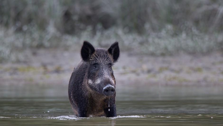 Nemški nudist po plaži lovil divjo svinjo, ki mu je odnesla prenosni računalnik (foto: Shutterstock)