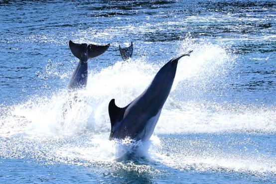 Čudovita igra delfinov, posneta zjutraj v okolici otoka Iž (video)