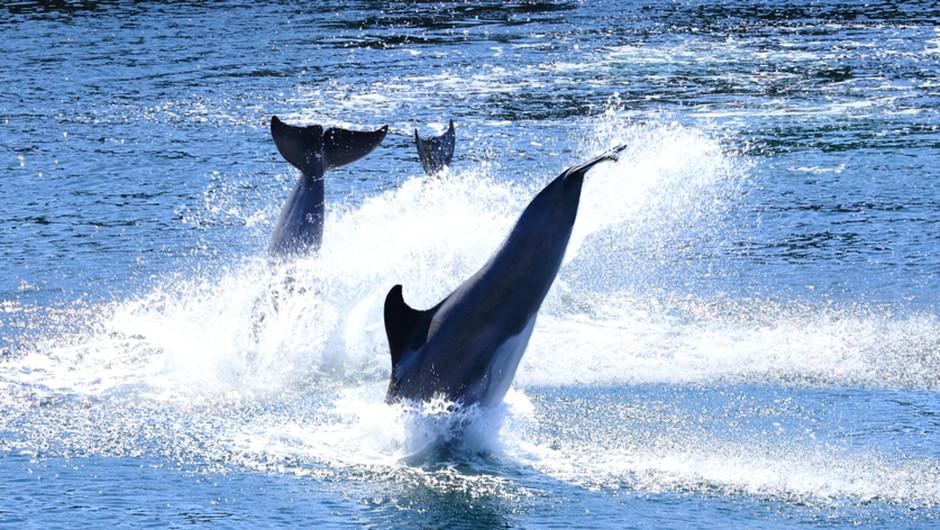 Čudovita igra delfinov, posneta zjutraj v okolici otoka Iž (video) (foto: Shutterstock)