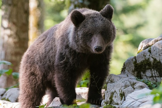 V okviru novega mednarodnega projekta tudi raziskava o ohranjanju prostoživečih živali v Sloveniji