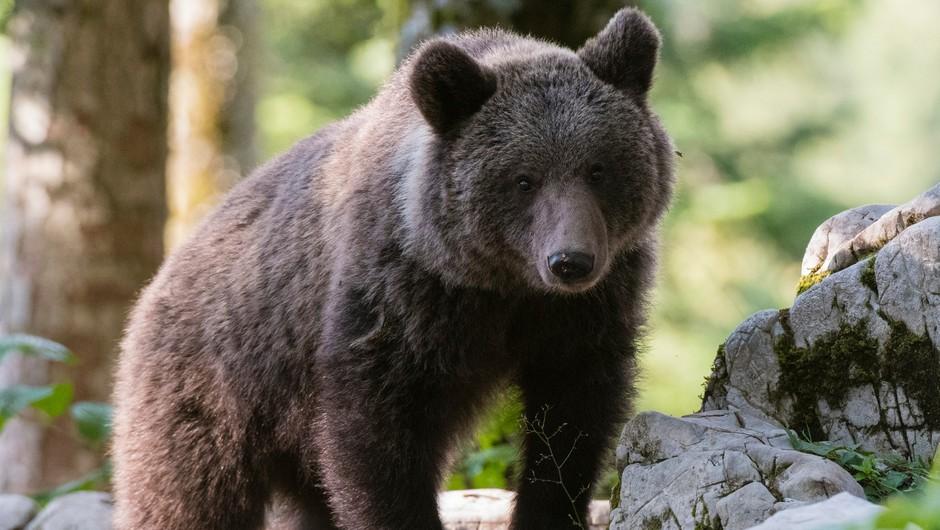 V okviru novega mednarodnega projekta tudi raziskava o ohranjanju prostoživečih živali v Sloveniji (foto: Profimedia)