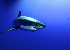Mož je tako dolgo udrihal po morskem psu, da je popustil, s čimer je rešil ženo