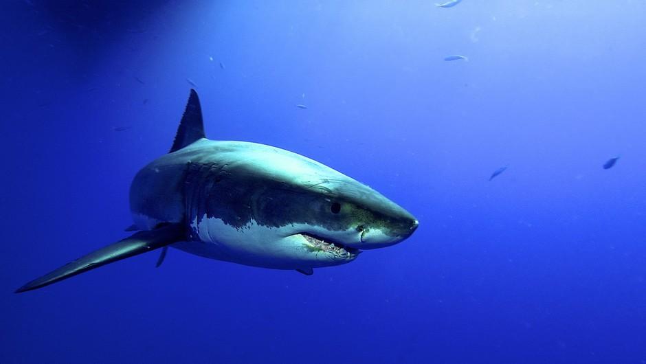Mož je tako dolgo udrihal po morskem psu, da je popustil, s čimer je rešil ženo (foto: profimedia)