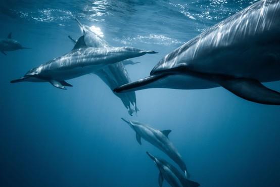 Ogrožena vrsta navadnega delfina pred leti obiskala Tržaški zaliv