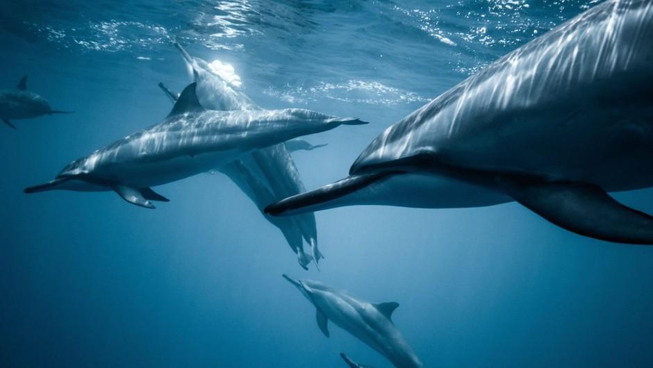 Ogrožena vrsta navadnega delfina pred leti obiskala Tržaški zaliv (foto: Profimedia)