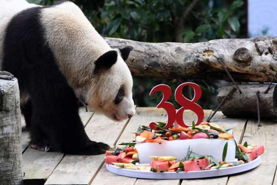 Najstarejši orjaški panda na svetu praznoval 38. rojstni dan