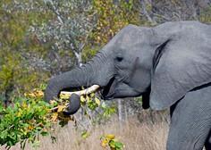 V varšavskem živalskem vrtu bodo stres pri slonih zdravili z marihuano