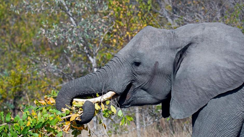 V varšavskem živalskem vrtu bodo stres pri slonih zdravili z marihuano (foto: profimedia)