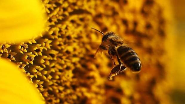Čebelji strup uniči nekatere celice raka dojk (foto: Tanjug/STA)