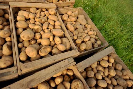 V EU raziskave za prilagajanje krompirja na ekstremne pogoje v okolju