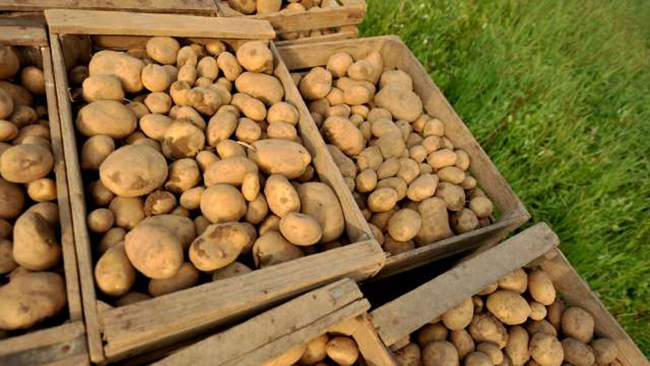 V EU raziskave za prilagajanje krompirja na ekstremne pogoje v okolju (foto: Tamino Petelinšek/STA)