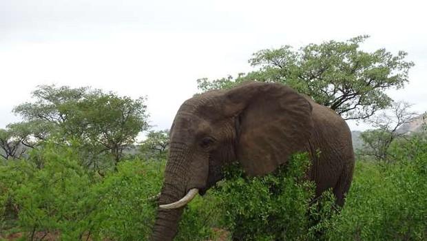 Rešena skrivnost nedavnega množičnega pogina slonov v Bocvani (foto: Mojca Zorko/STA)