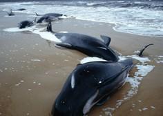 Vzdolž zahodne obale avstralskega otoka Tasmanija nasedlo več kot 200 kitov