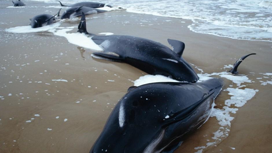 Vzdolž zahodne obale avstralskega otoka Tasmanija nasedlo več kot 200 kitov (foto: Profimedia)