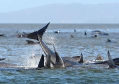 Na obali Tasmanije poginilo že 90 od skupno 270 kitov, ki so tam nasedli v ponedeljek