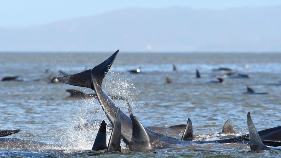 Na obali Tasmanije poginilo že 90 od skupno 270 kitov, ki so tam nasedli v ponedeljek (foto: Profimedia)