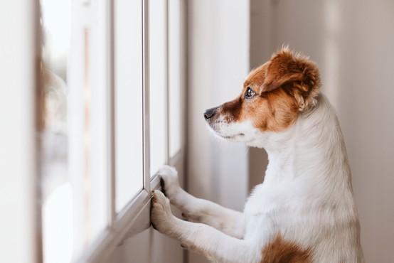 Porast okužb s kužnim kašljem pri psih po vsej Sloveniji