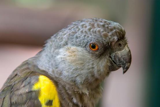 Iz angleškega živalskega vrta zaradi preklinjanja umaknili papige