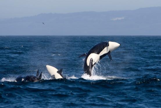Skrivnost podivjanih kitov ubijalcev: zakaj agresivno napadajo jadrnice ob španski in portugalski obali?