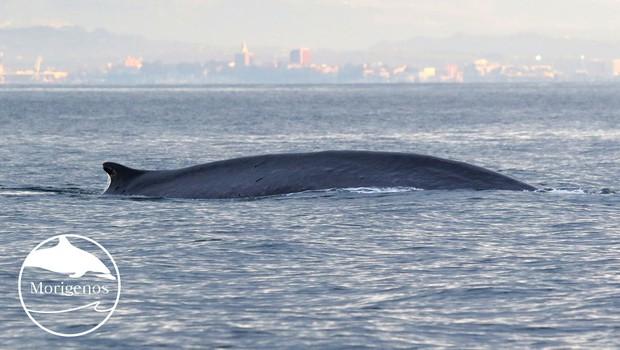 Brazdasta kita sta obiskala Tržaški zaliv (foto: Morigenos)