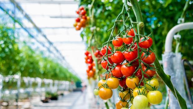 V Prekmurju že cvetijo paradižniki, ki jih bodo pod blagovno znamko Lušt prvič pridelovali tudi pozimi (foto: Shutterstock)