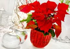 Kako pravilno negovati božično zvezdo (nasveti vzrediteljev)