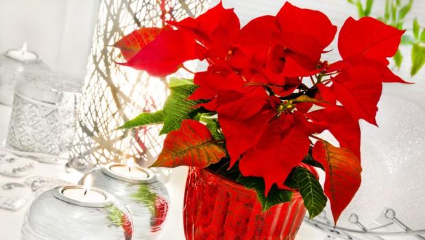 Kako pravilno negovati božično zvezdo (nasveti vzrediteljev) (foto: Shutterstock)