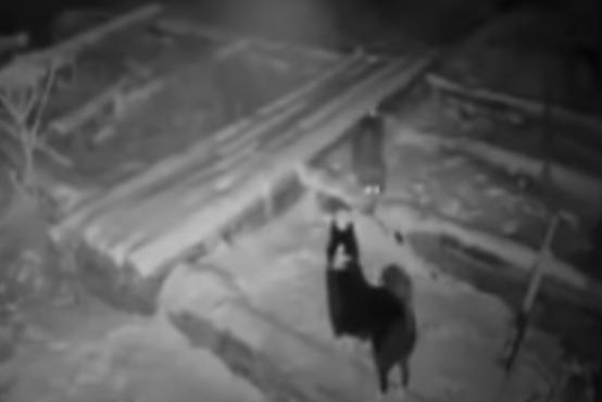 Žalosten posnetek, kako volk ubije psa pred hišo, ga strga z verige in odvleče v gozd