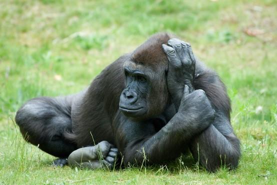 V kalifornijskem živalskem vrtu z novim koronavirusom okuženi gorili