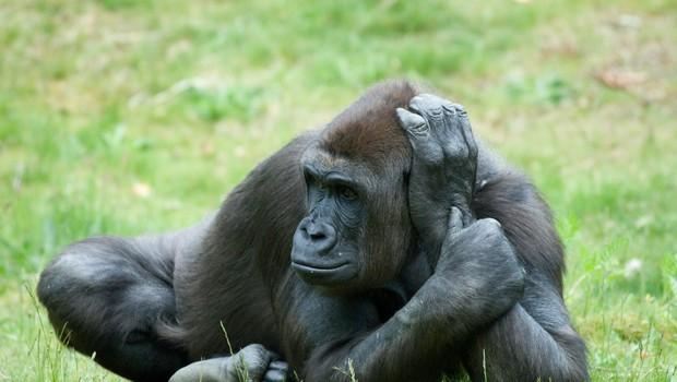 V kalifornijskem živalskem vrtu z novim koronavirusom okuženi gorili (foto: Profimedia)