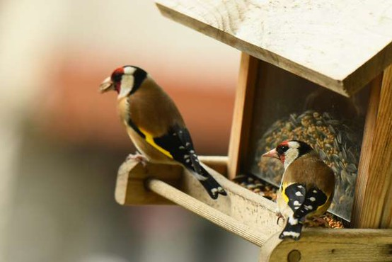Prihodnji teden opazovanje ptic v naseljih