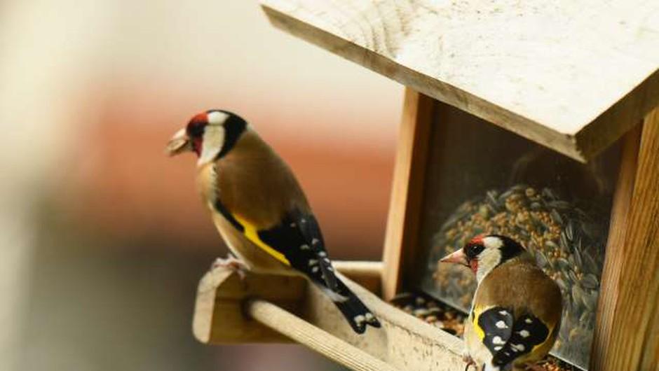 Prihodnji teden opazovanje ptic v naseljih (foto: Tamino Petelinšek/STA)