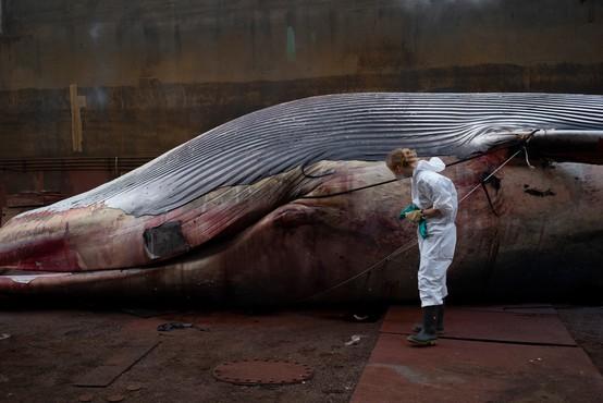 Blizu Neaplja našli poginulo, 20 metrov dolgo kitovko