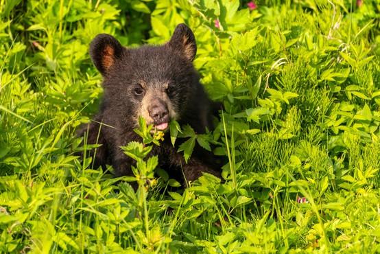 Nenavadna zgodba: med taborjenjem v aljaški divjini jo je  v latrini medved ugriznil v zadnjico