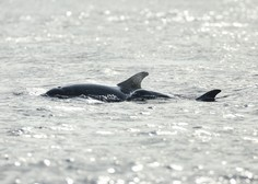 Na indonezijskem otoku Madura od 46 nasedlih kitov uspeli rešiti let tri