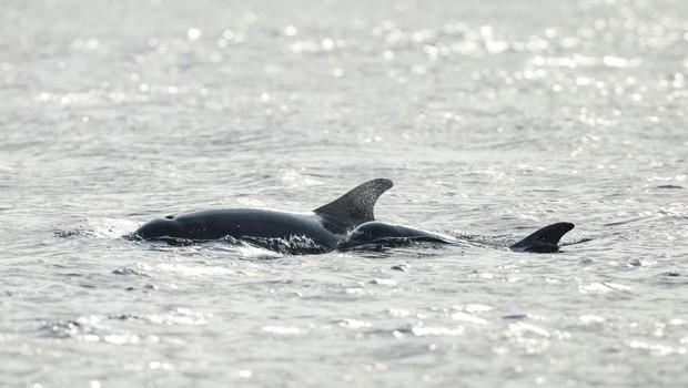Na indonezijskem otoku Madura od 46 nasedlih kitov uspeli rešiti let tri (foto: profimedia)