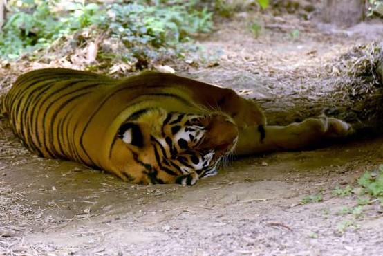 V ljubljanskem živalskem vrtu poginila sibirski tiger in kapibara