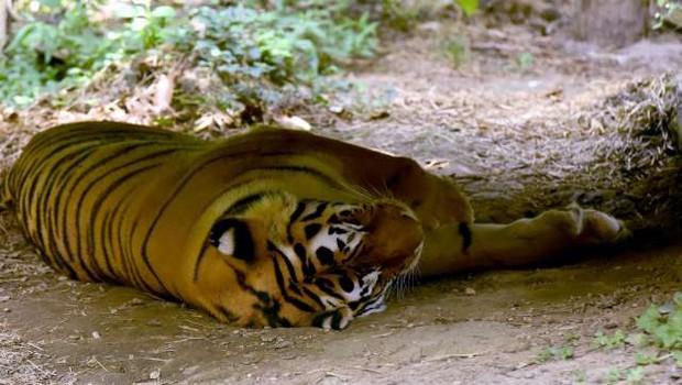 V ljubljanskem živalskem vrtu poginila sibirski tiger in kapibara (foto: Tamino Petelinšek/STA)