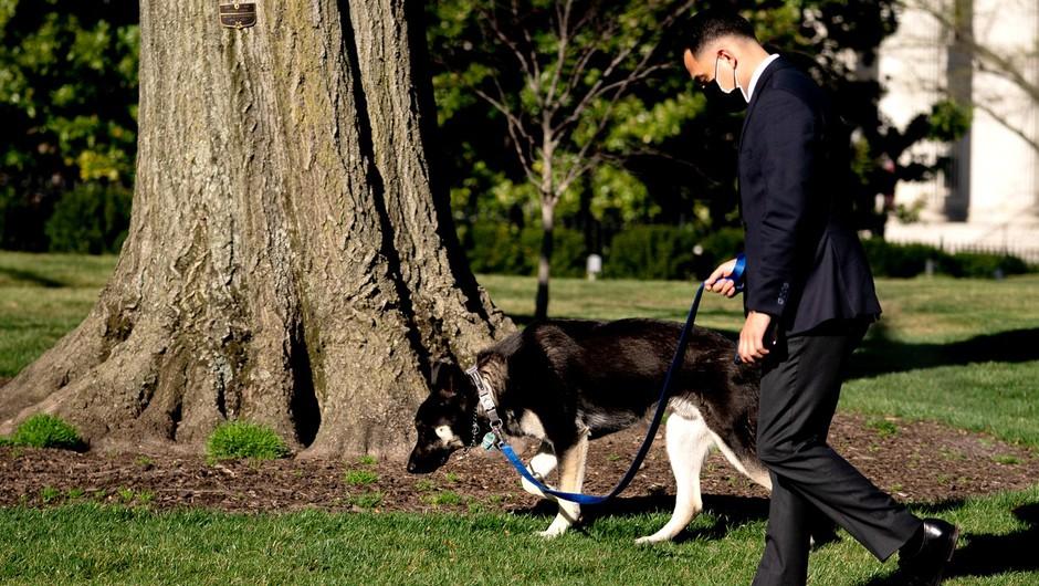 Major je spet ugriznil! Bi morali Bidenovega psa umakniti iz Bele hiše? (foto: profimedia)