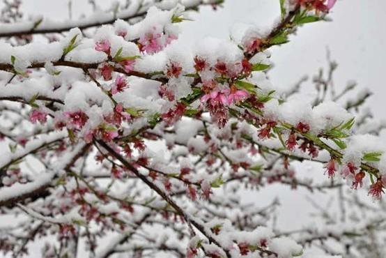 Nizke temperature prizadele cvetoče sadno drevje, pa tudi izpostavljene vrtnine